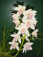 Cym. (Showgirl x Winter Fair) 'Everglades' 2